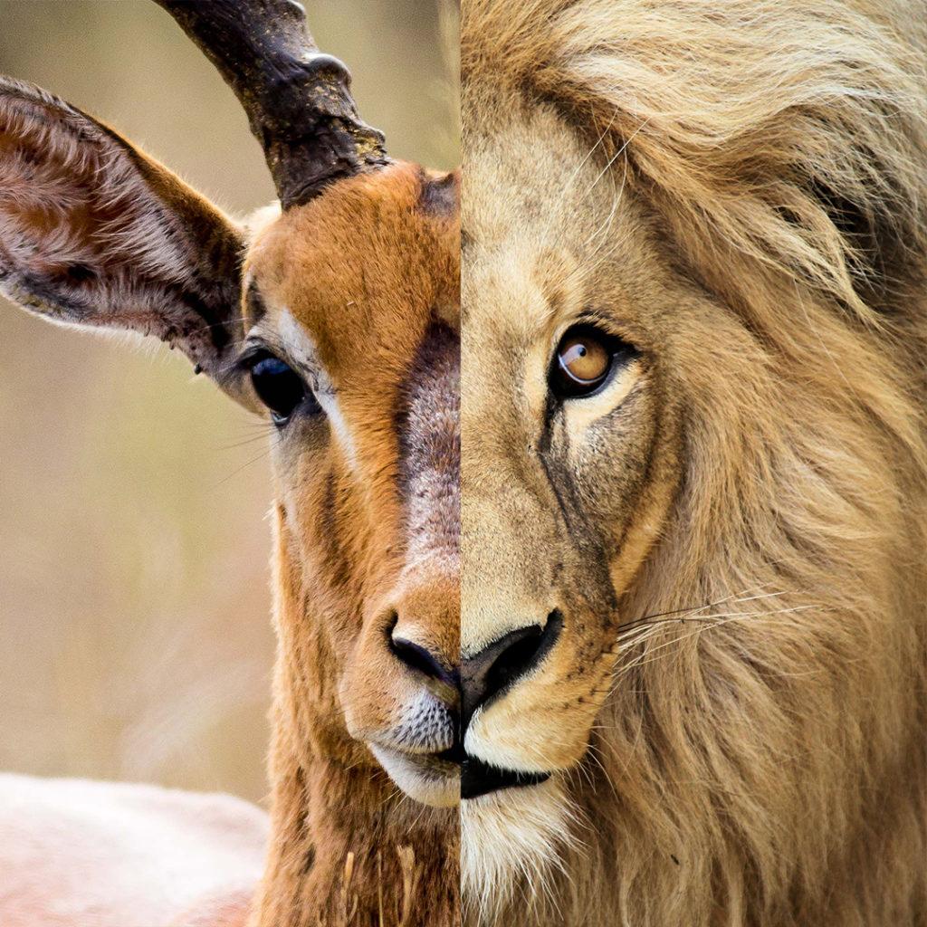 leone/gazzella CACCIATORE/PREDA