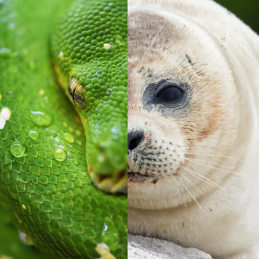 serpente/foca SCALTRO/INGENUO